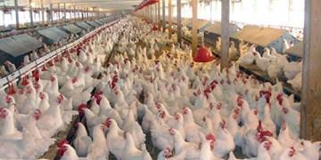 طرح ارتقا بهداشت گوشت مرغ از 15 مهر آغاز میشود