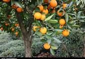 ۵ دلیل گرانی میوه اعلام شد، دلالان متهم ردیف اول